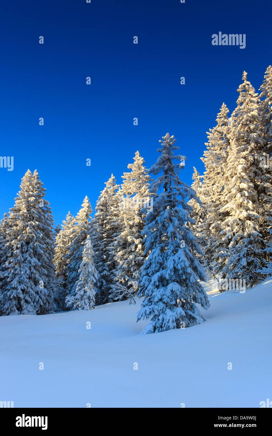 Alps, trees, spruce, spruces, sky, mornings, morning light, snow, Switzerland, Europe, sun, sunshine, fir, firs, - Stock Image