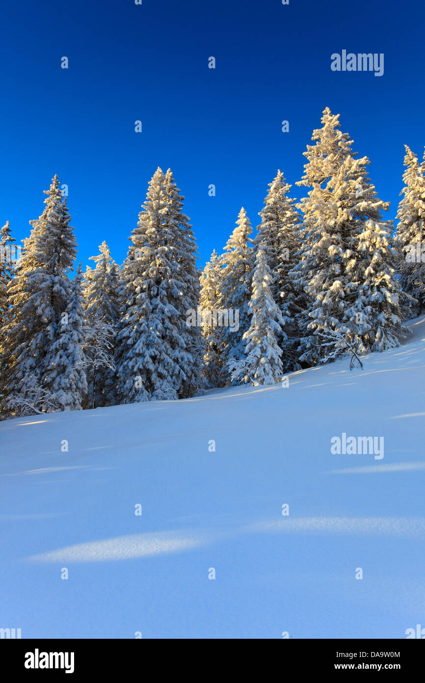 Alps, trees, spruce, spruces, sky, mornings, morning light, snow, Switzerland, Europe, sun, sunshine, fir, firs, - Stock Image