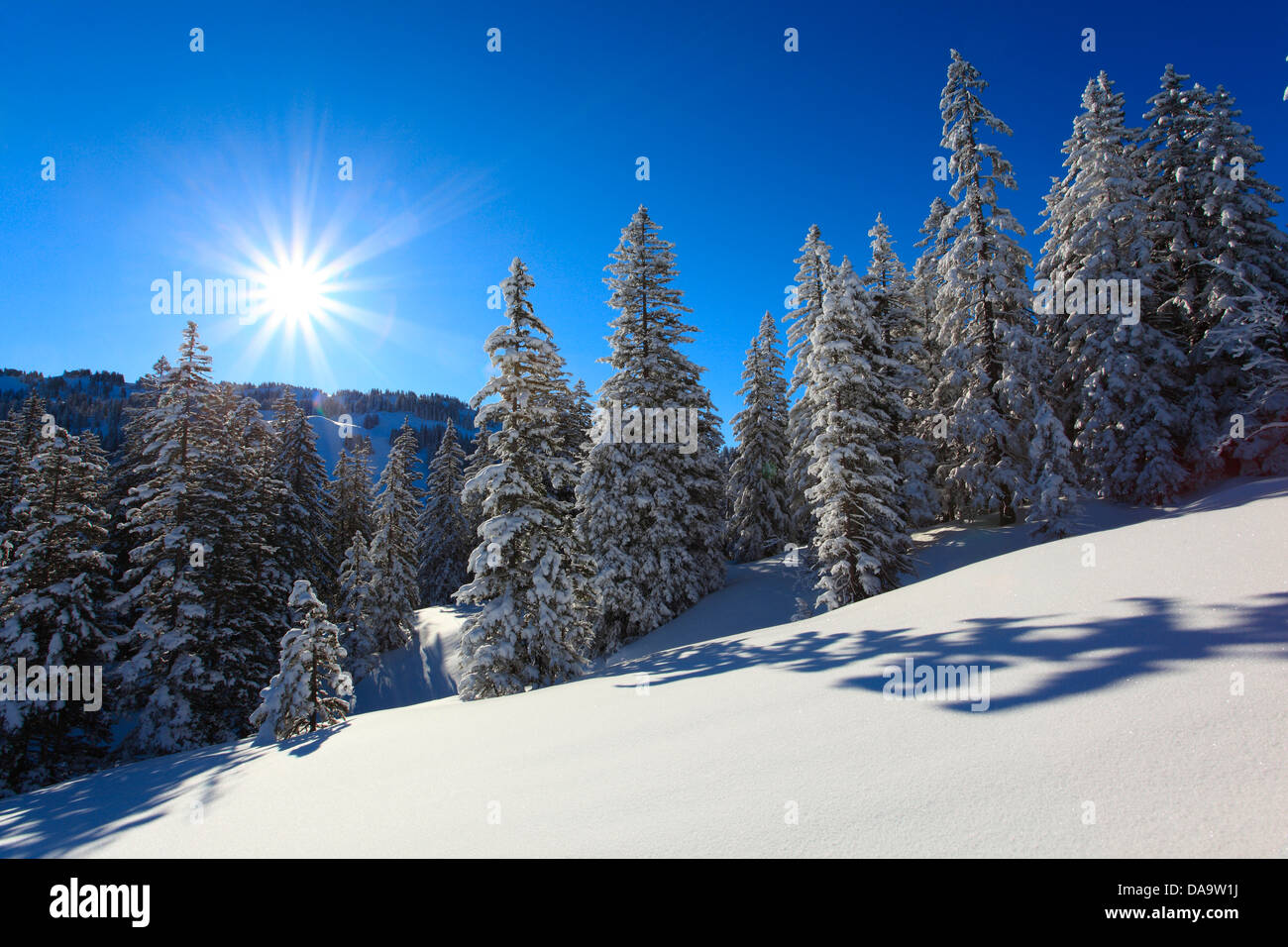 Tree, trees, spruce, spruces, back light, sky, cold, snow, Switzerland, Europe, sun, star, fir, firs, wood, forest, - Stock Image