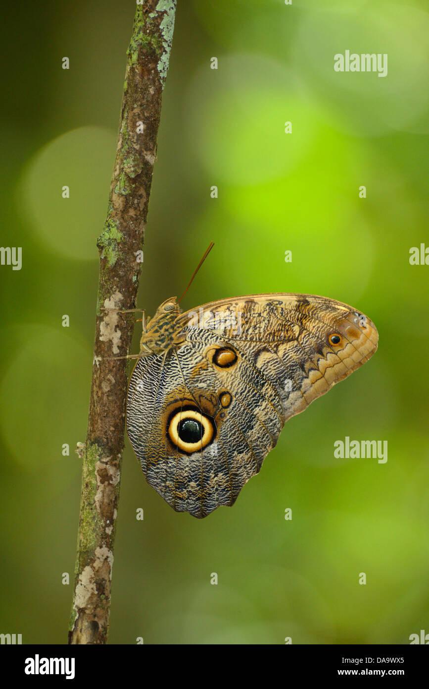 Central America, Costa Rica, Corcovado, National Park, Osa Peninsula, butterfly, Puntarenas, - Stock Image