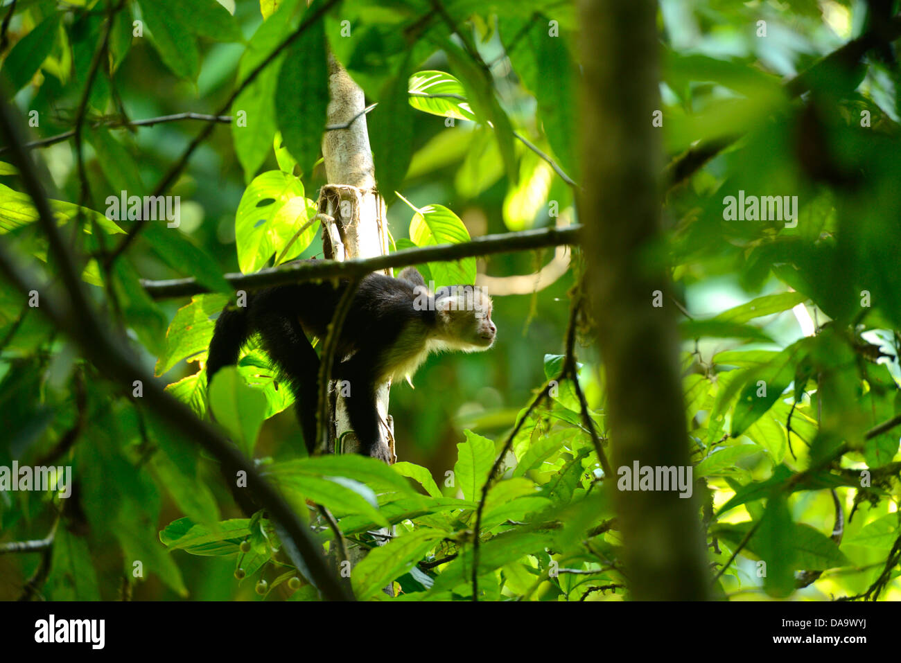 Central America, Costa Rica, Osa Peninsula, Corcovado, National Park, coastal forest, forest, jungle, monkey, wildlife, - Stock Image