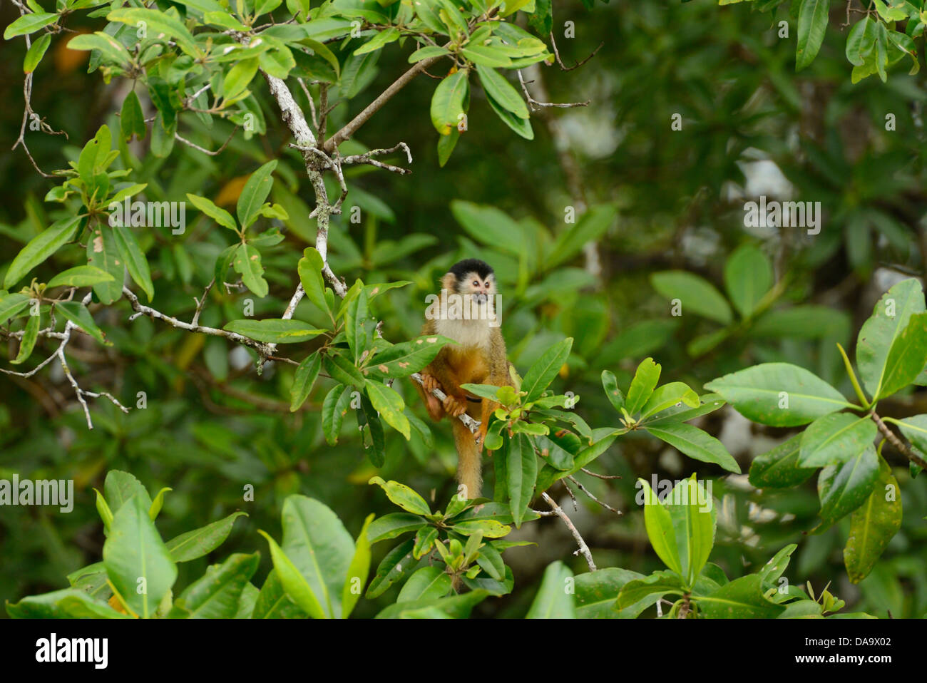 Pacific, mangrove, forest, Corcovado, National Park, Osa Peninsula, Costa Rica, Central America, monkey, wildlife, - Stock Image