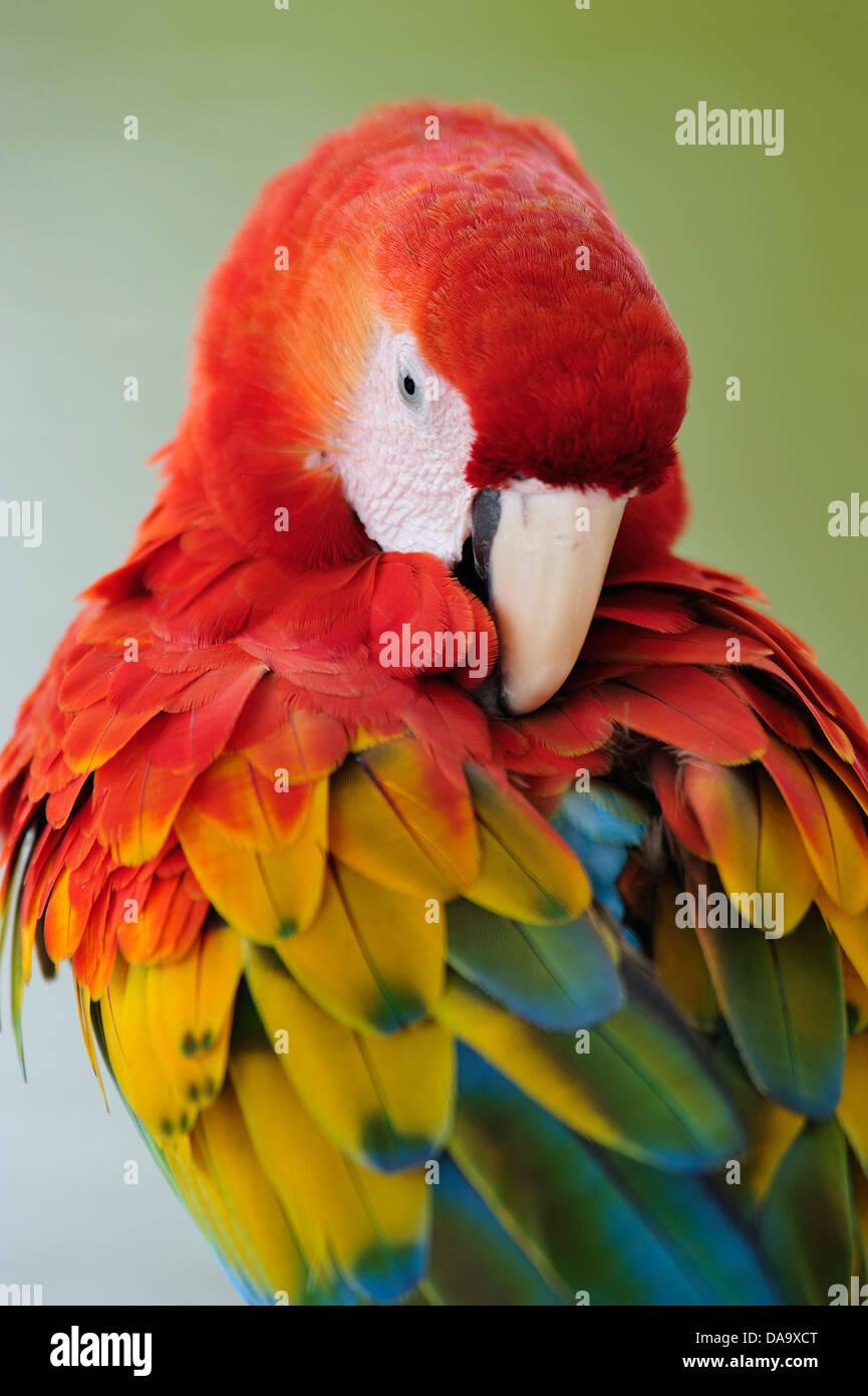 Parrot, Macaw, bird, colour, Amazon, animal, Peru - Stock Image