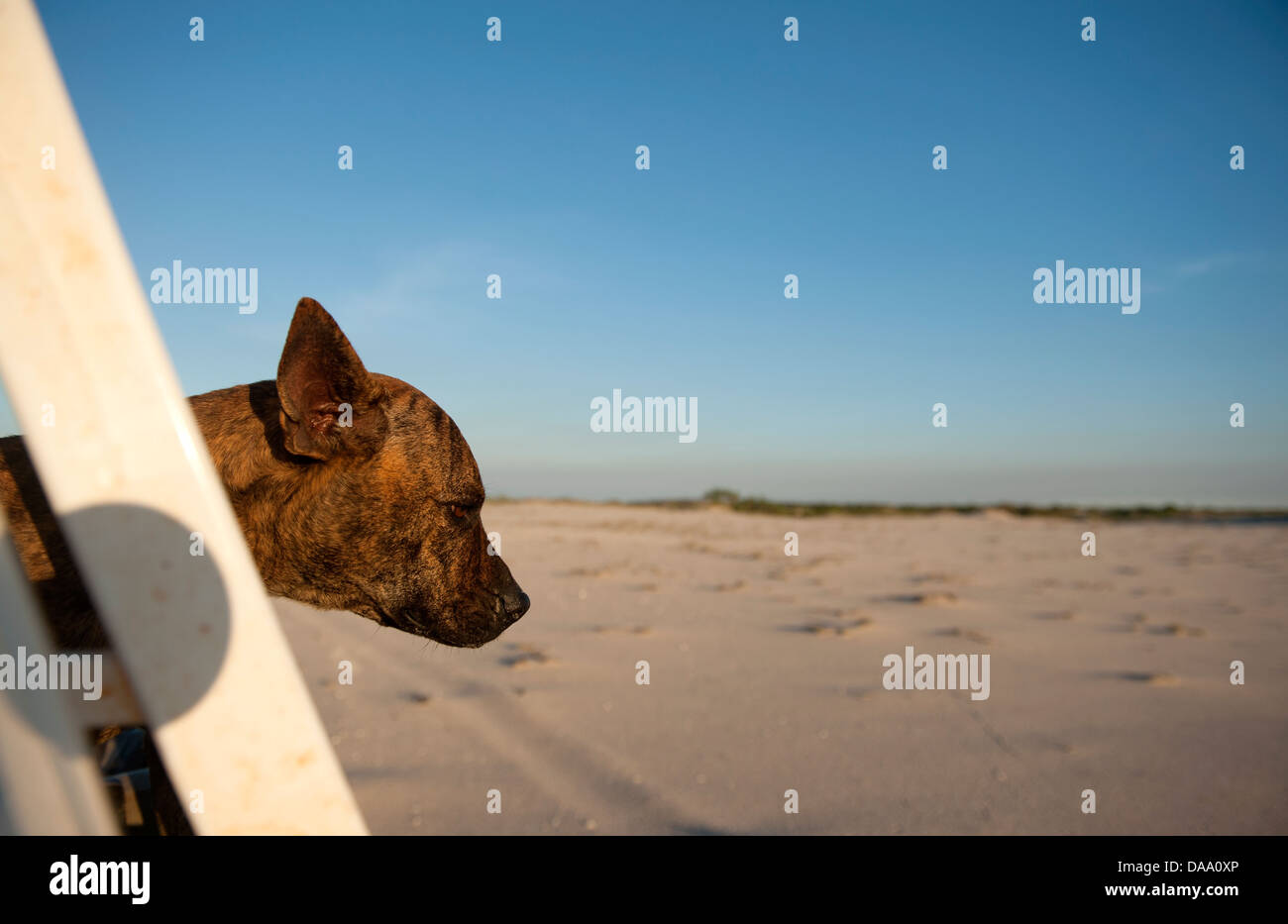 Australian dog sticking out its head when driving through arid coastal land near One Arm Point, Cape Leveque, Kimberley - Stock Image