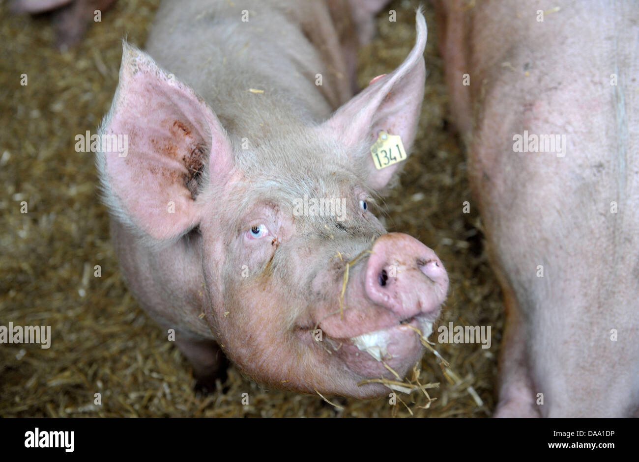 One of farmer Seeger's Sows stands on his farm in Grossenkneten, Germany, 04 January 2011. Authorities in Lower - Stock Image