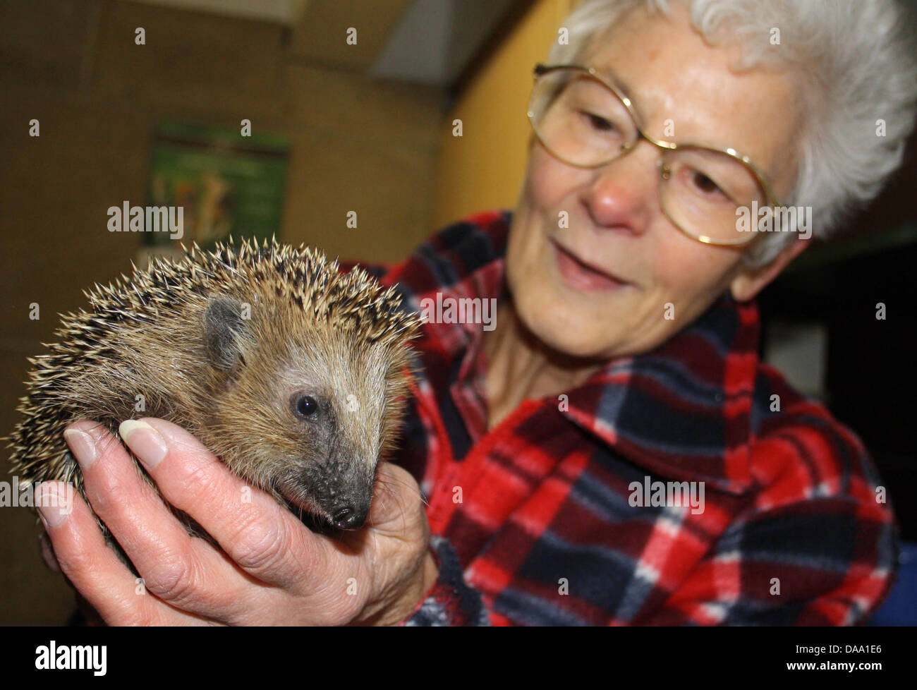 Director of the native animal haven for wild birds 'Kirchwald', Helga Steffens, holds a hedgehog in her - Stock Image