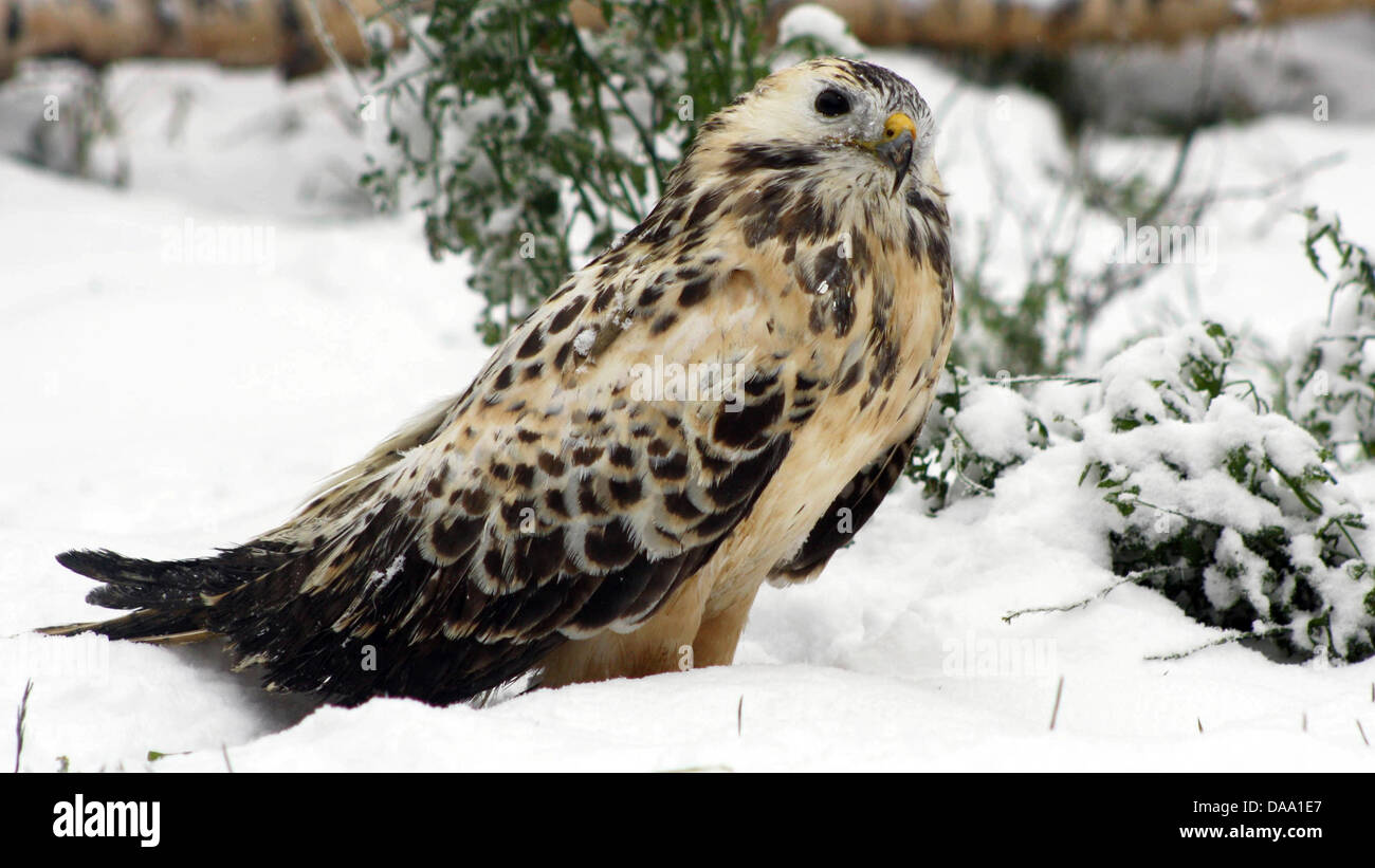 A common buzzard sits on the snow-covered aviary at the native animal haven for wild birds 'Kirchwald' in - Stock Image