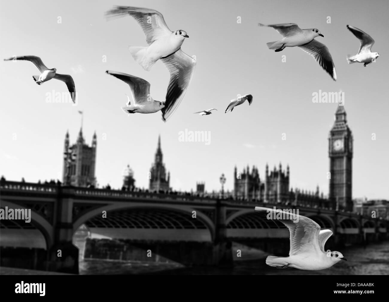 a landscape of Westminster bridge with seagull flying over the river Thames with the Big Ben on the background - Stock Image