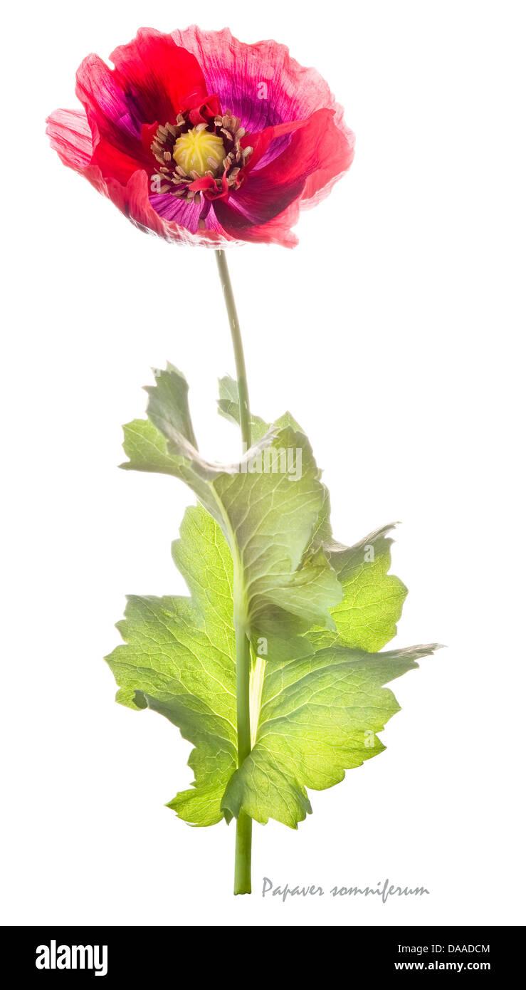 Opium poppy papaver somniferum flower and leaves on the white opium poppy papaver somniferum flower and leaves on the white background july england uk europe mightylinksfo