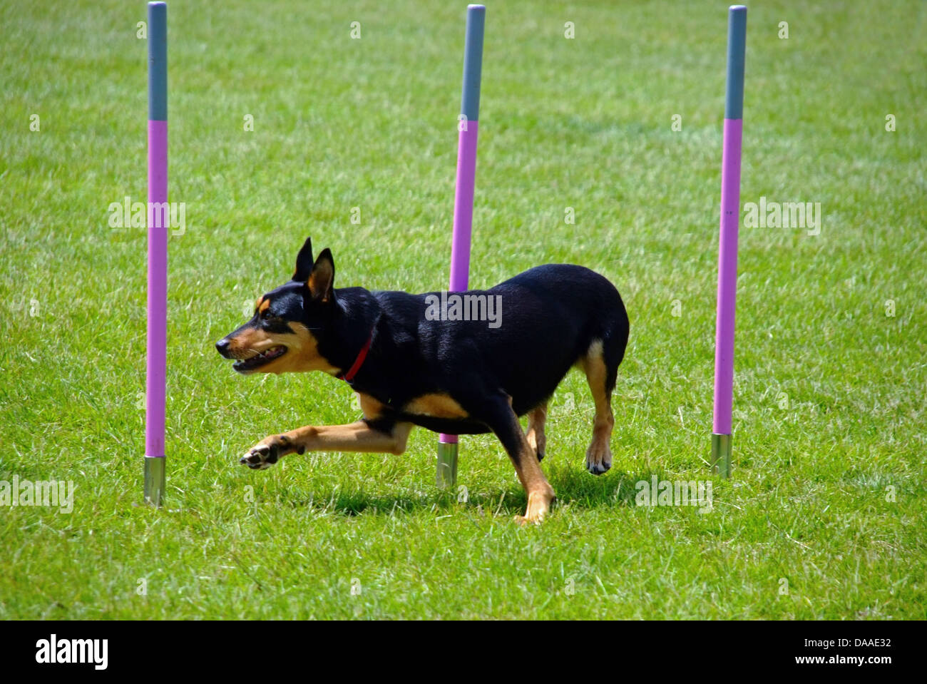 Kelpie Dog Going Through Weave Poles at Agility Dog Show - Stock Image