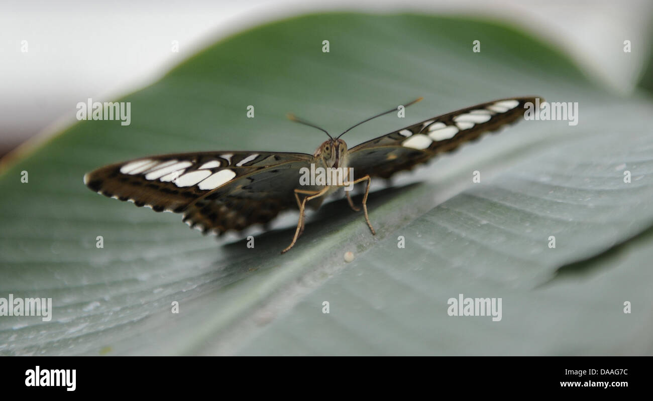 Aclipper sits on a leaf at the Botanic Garden in Munich, Germany, 26 January 2011. Photo: Marc Mueller - Stock Image