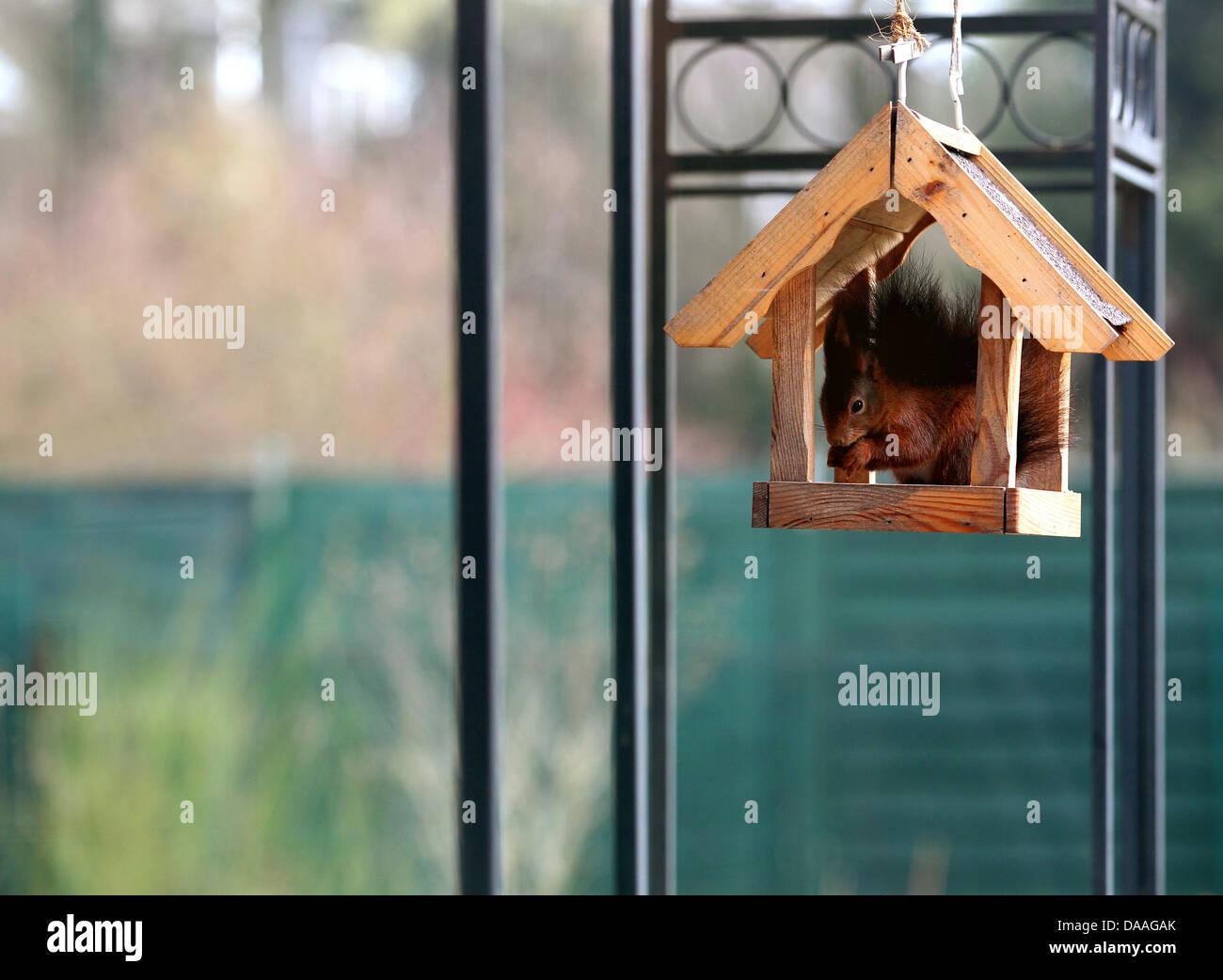 Ein Eichhörnchen hat es sich in einem für seine Körpergröße viel zu kleinem Vogelhäuschen - Stock Image