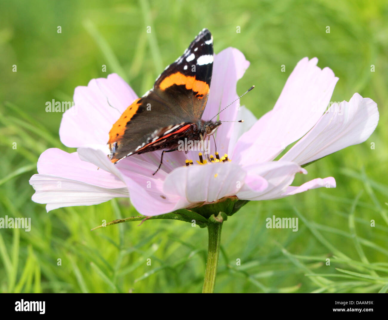 Red admiral butterfly (vanessa atalanta) feeding on a large pink flower in summer - Stock Image