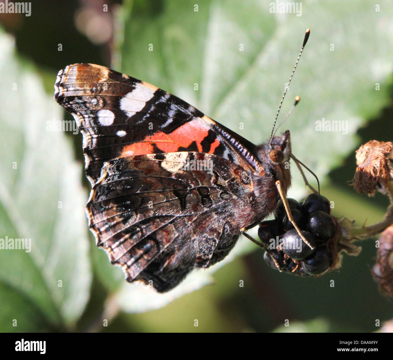 Red admiral butterfly (vanessa atalanta) feeding on a blackberry - Stock Image