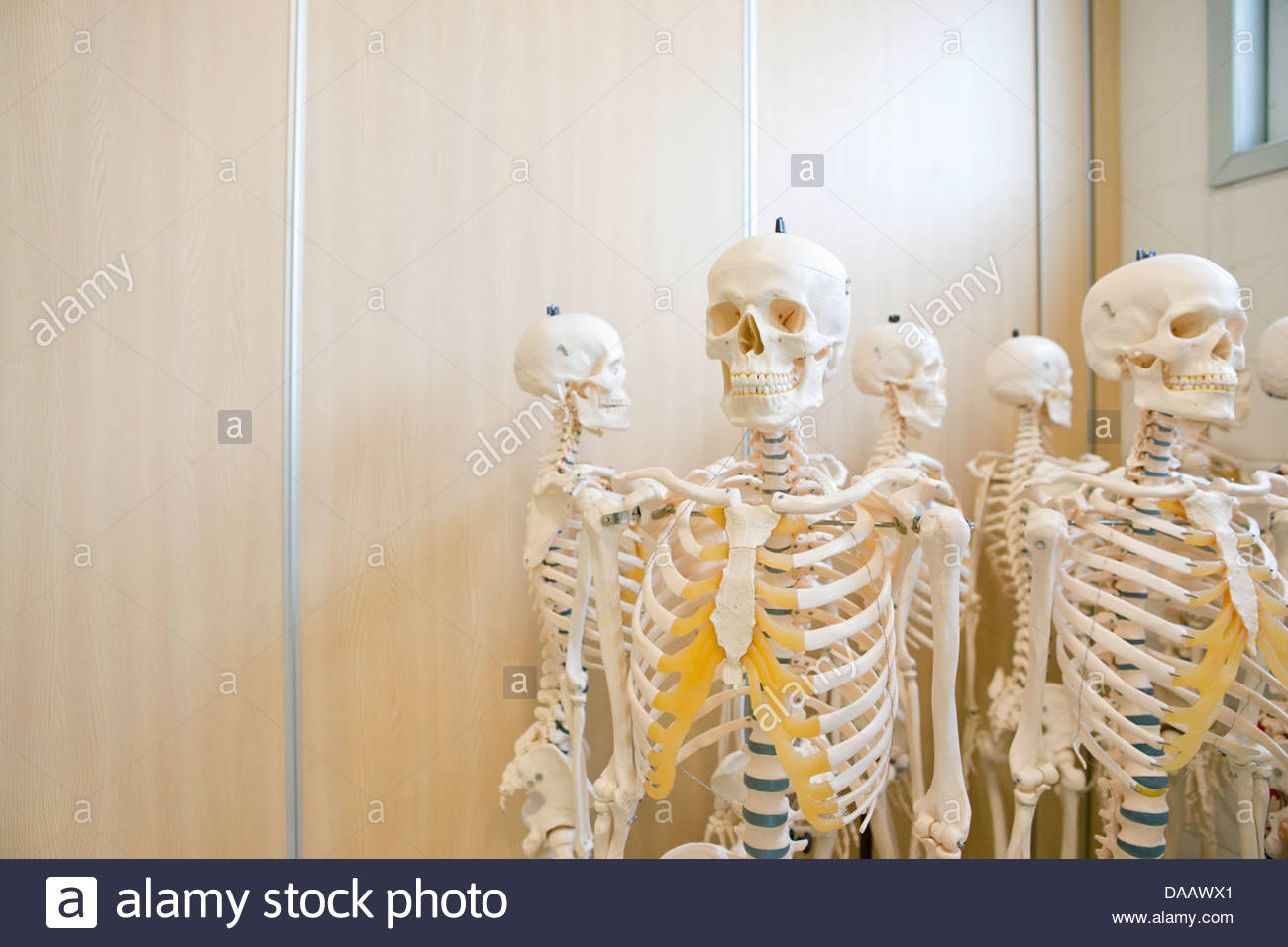 Skeleton models - Stock Image