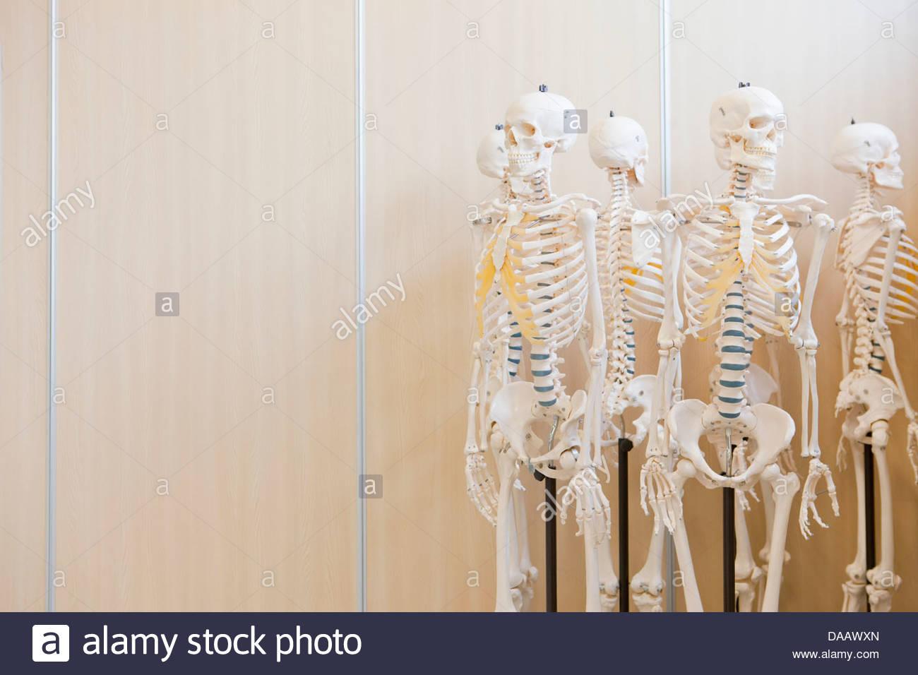 Skeleton models - Stock Image