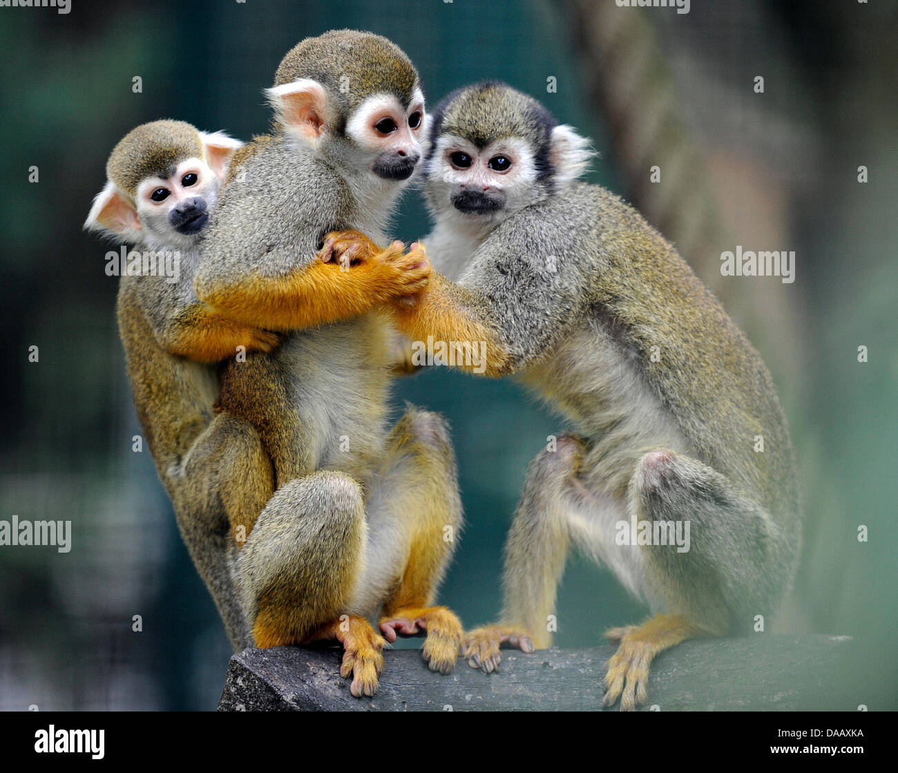 A Family Of Squirrel Monkies With Their Young Climb A Tree At The Zoo Stock Photo Alamy How do you spell the plural form of monkey? https www alamy com stock photo a family of squirrel monkies with their young climb a tree at the 58018110 html