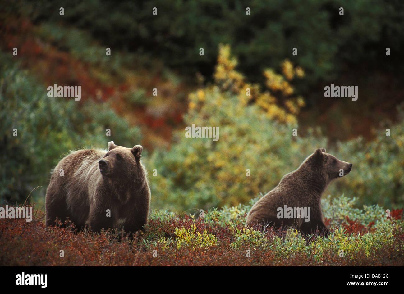 Grizzly Bear, animal, Ursus Arctos, Denali, National Park, Preserve, Alaska, USA, bears, cub, cubs, fall, autumn, - Stock Image