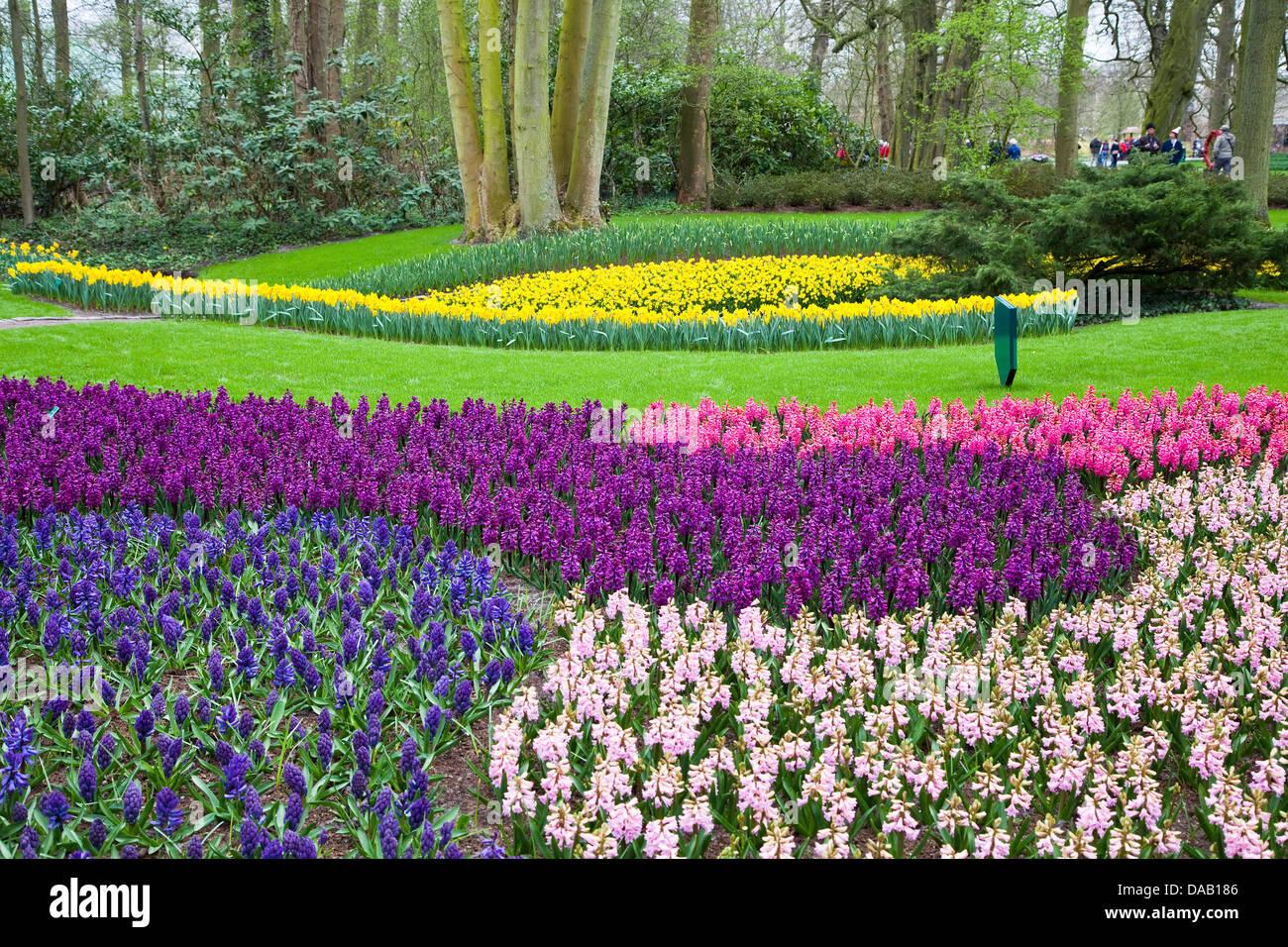 Europe,Netherlands,South Holland,Lisse,Keukenhof,Hyacinth - Stock Image