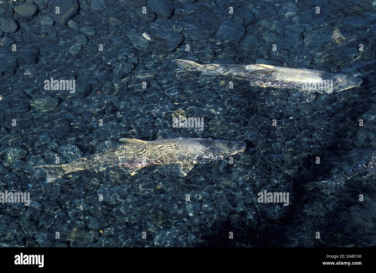 Spawning, Red Salmon, Dog Salmon, Williwaw Creek, Alaska, USA, fish, salmon, water, nature, sunny - Stock Image