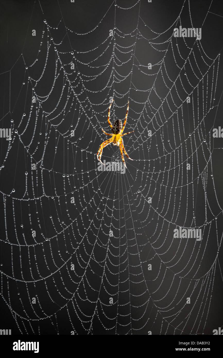Spider net, morning, rope, back light, spider, Keoladeo, national park, Bharatpur, India, Asia, Rajasthan, net - Stock Image