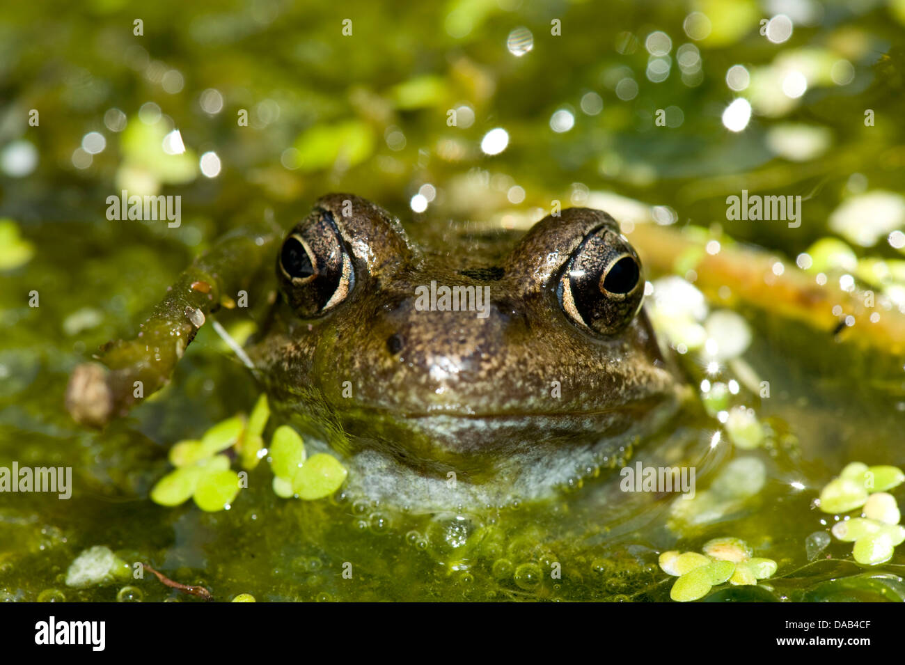A European frog, Rana temporaria, with its head just above the surfacer of a garden pond with duckweed and blanket - Stock Image