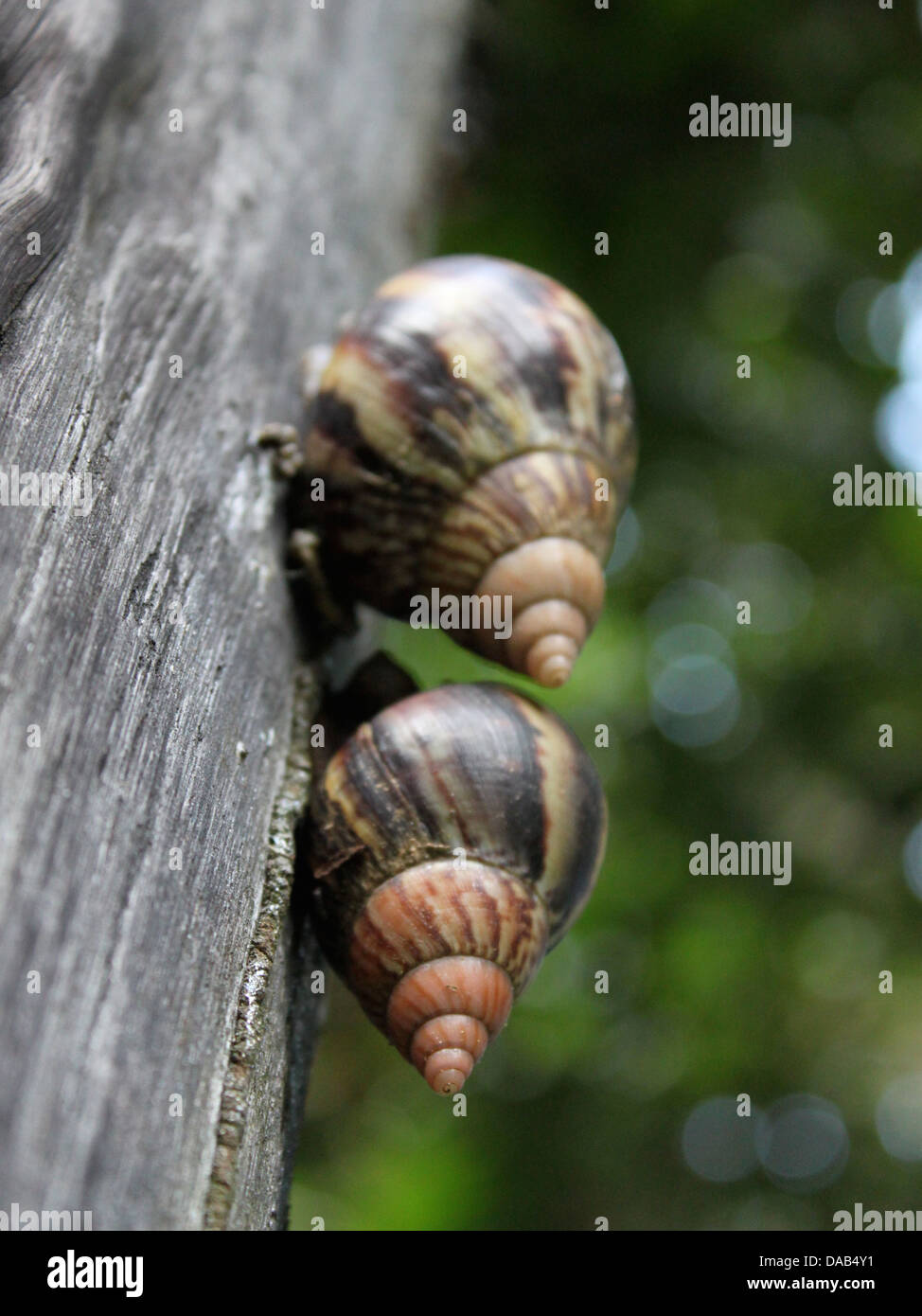 two snails on a wooden power pylon - Stock Image