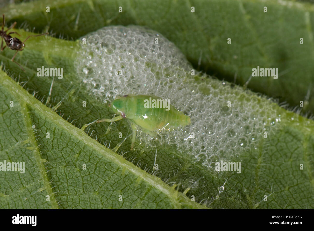 Cuckoo spit on a stinging nettle leaf with a green froghopper nymph, Philaenus spumarius - Stock Image
