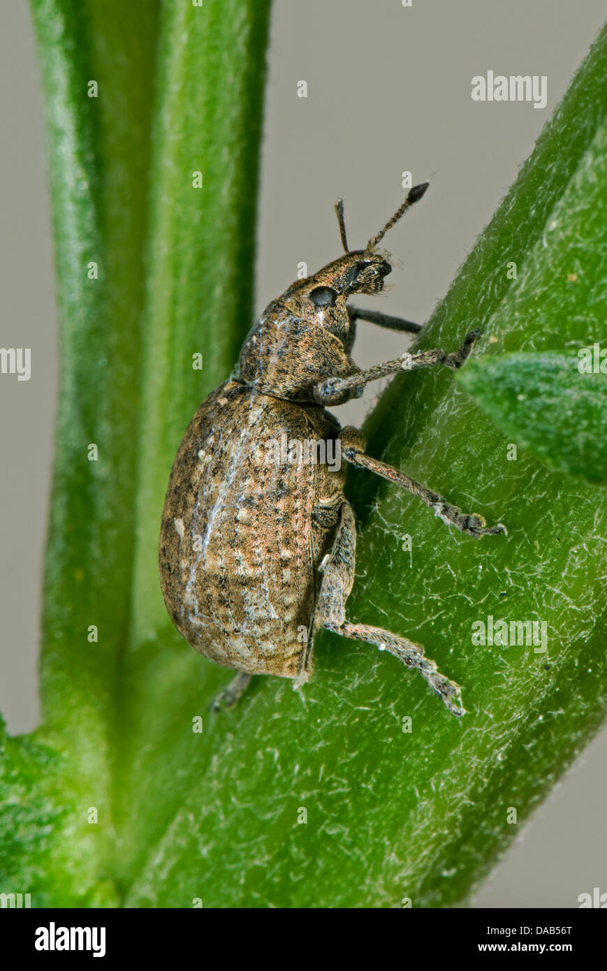 Clay-coloured weevil, Otiorhychus singularis, adult with damage antenna - Stock Image