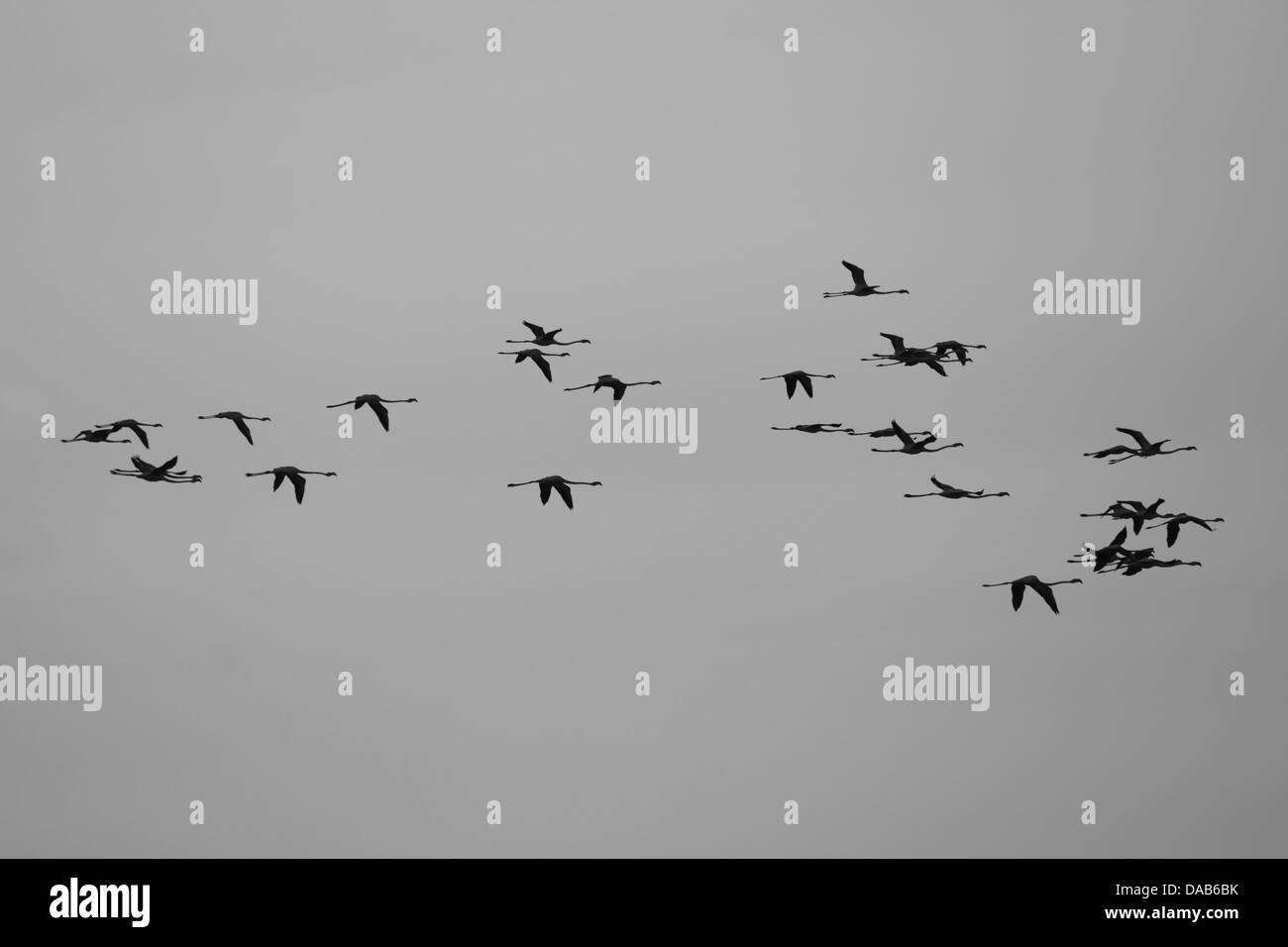 Flying flamingos in France Stock Photo