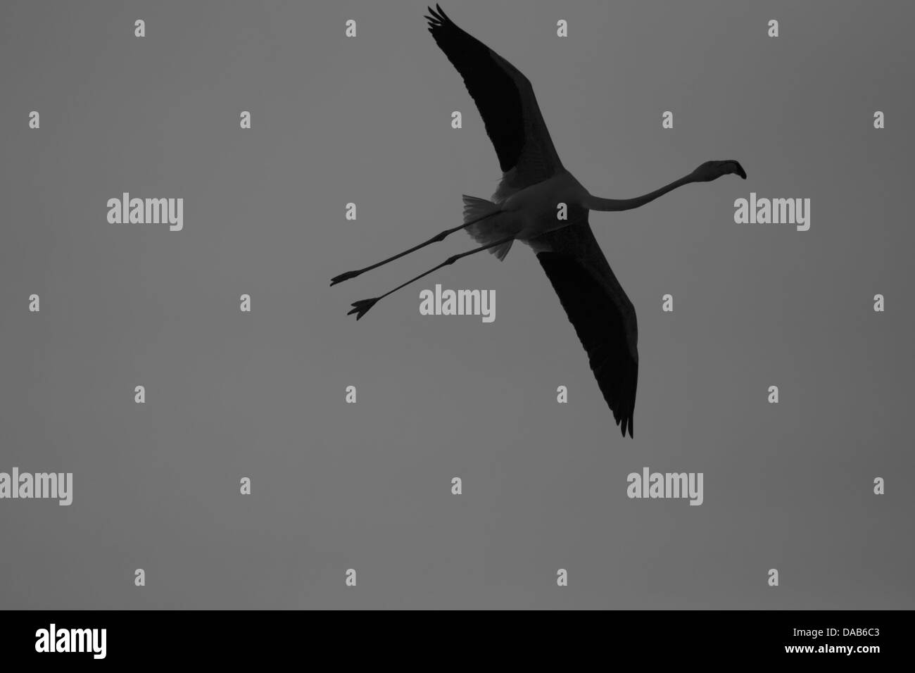 Flying flamingo in France Stock Photo