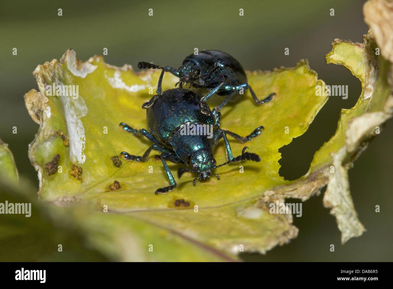 Jewel Bugs Scutelleridae  Bangalore, Karnataka India - Stock Image