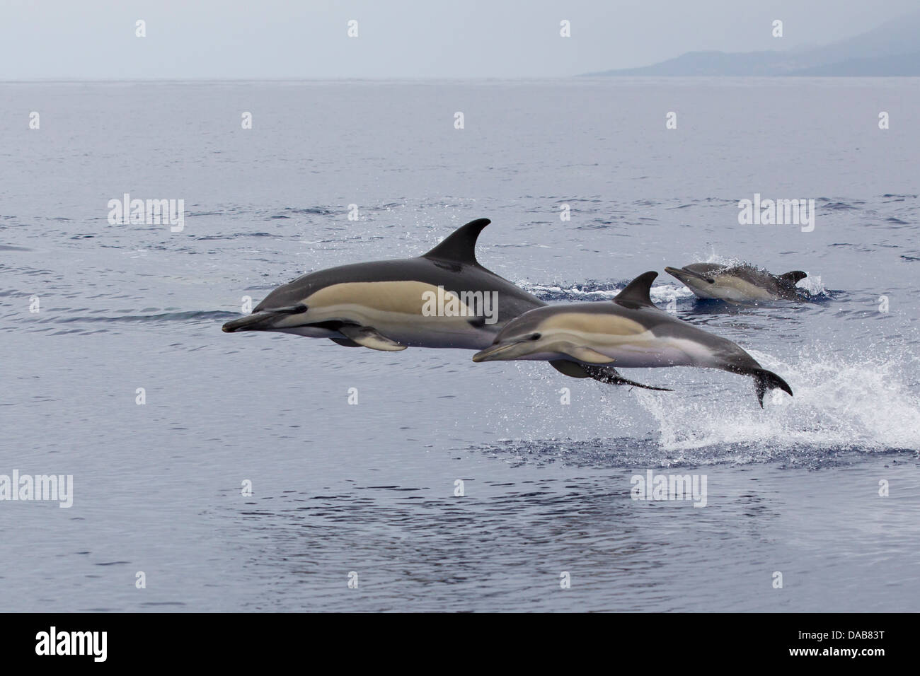 Gemeiner Delphine, Short-beaked Common Dolphins, Delphinus delphis,  calf leaping next to mother, Pico, Azores, - Stock Image