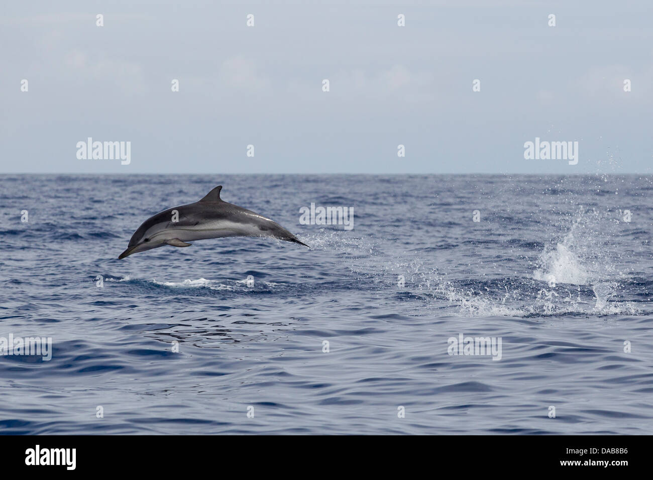 Striped Dolphin, Stenella coeruleoalba, Blau-weißer Delphin, leaping high, fast swimming dolphin, Lajes do - Stock Image