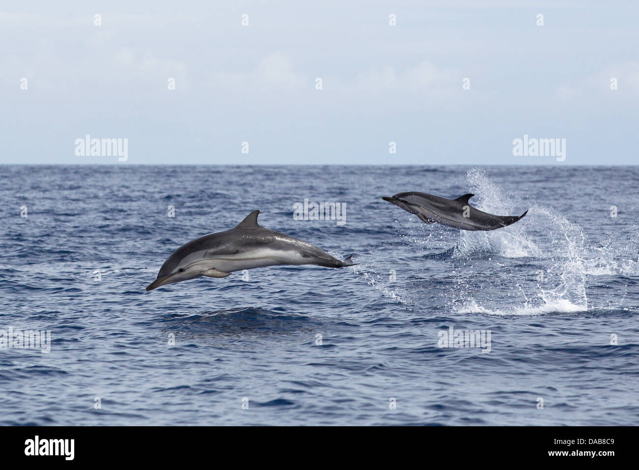 Striped Dolphins, Stenella coeruleoalba, Blau-weiße Delphine, leaping high, fast swimming dolphins, Lajes do - Stock Image