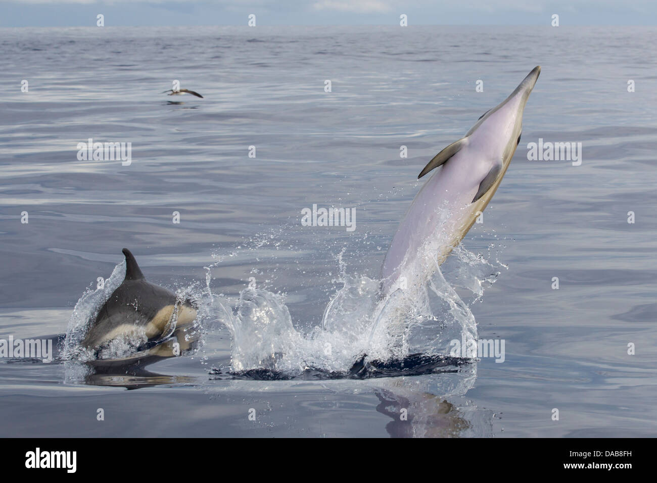Gemeine Delphine, Short-beaked Common Dolphins, Delphinus delphis, leaping and playing together, Lajes do Pico, Stock Photo