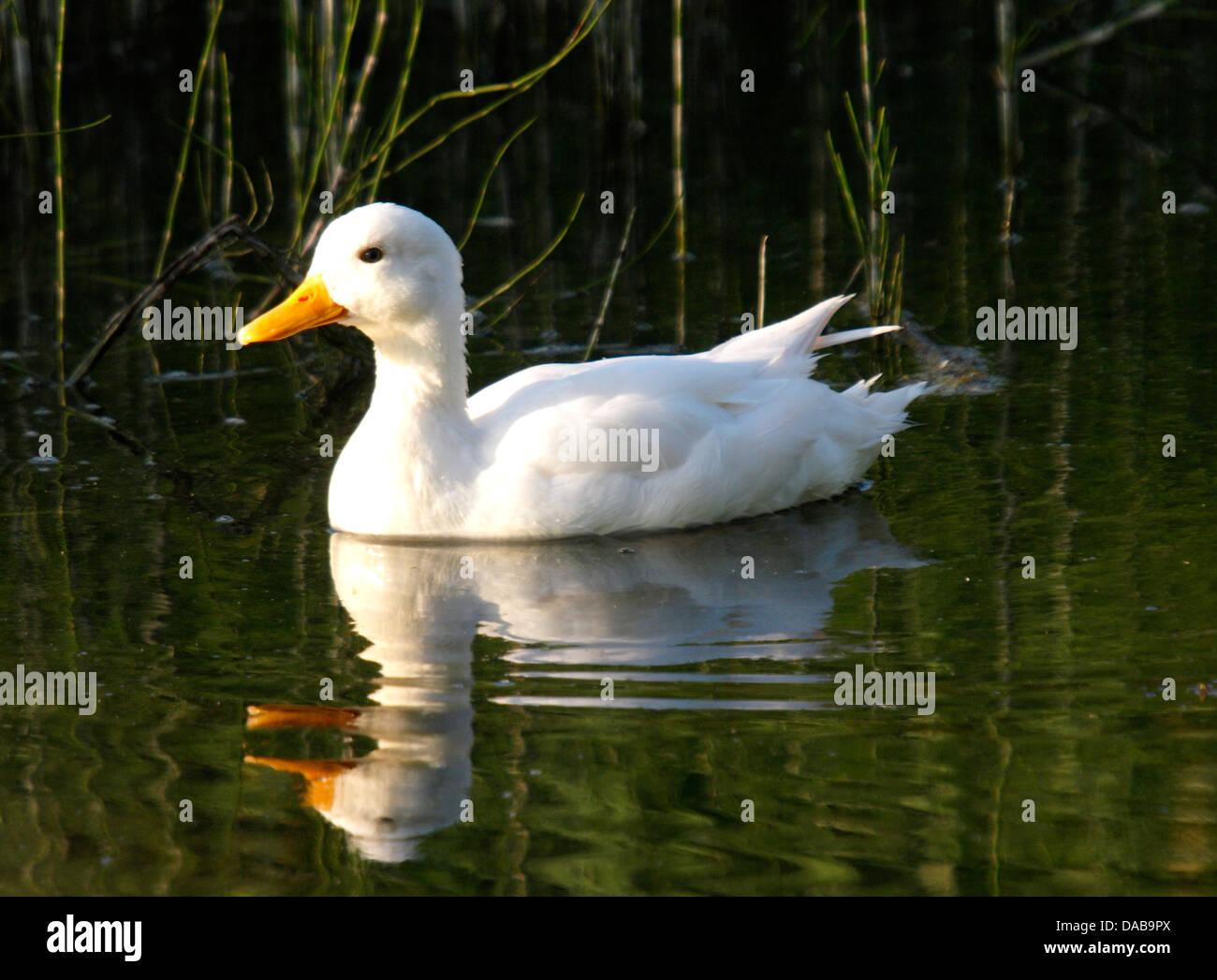 White duck, UK 2013 - Stock Image