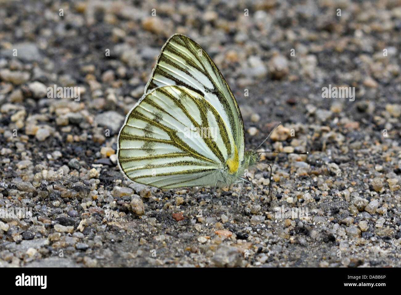 GREEN VEINED WHITE Pieris napi Golaghat District, Assam, INDIA - Stock Image