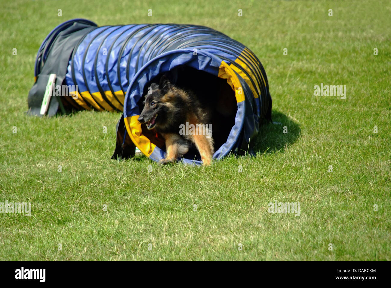 German Shepherd  coming out of Tunnel at Agility Dog Show - Stock Image
