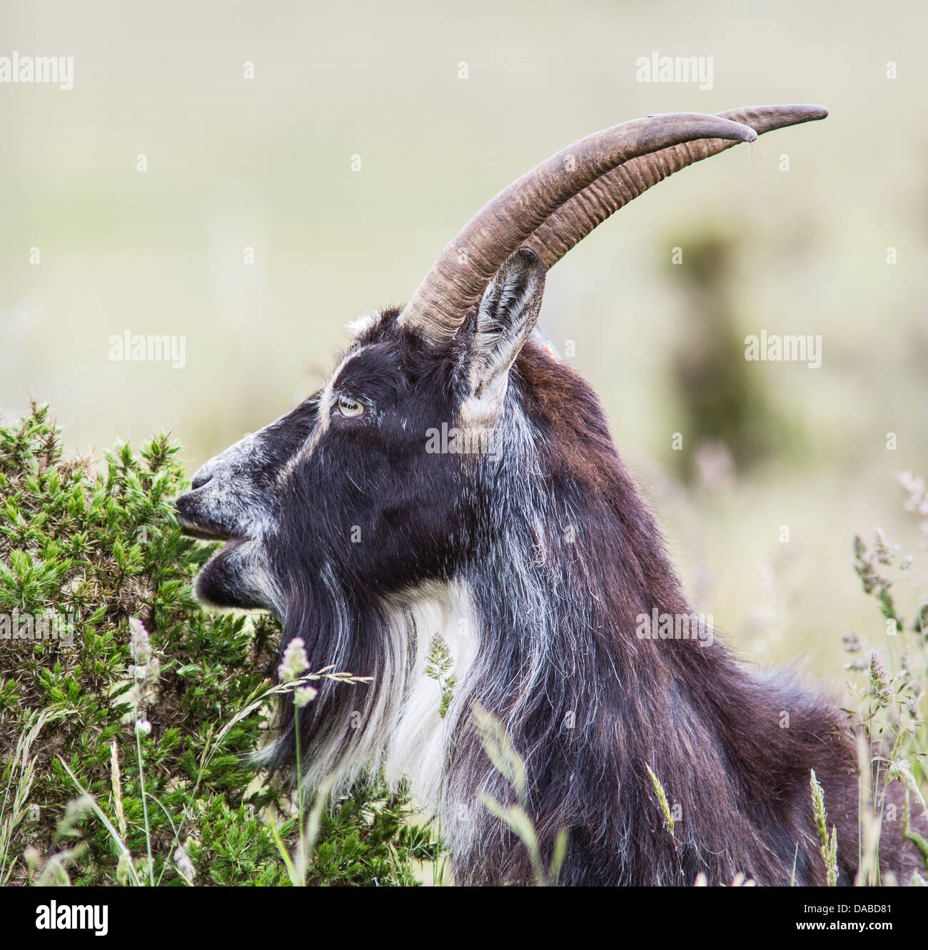British primitive goat grazing on prickly gorse leaves at Cheddar Gorge Mendips Somerset UK - Stock Image