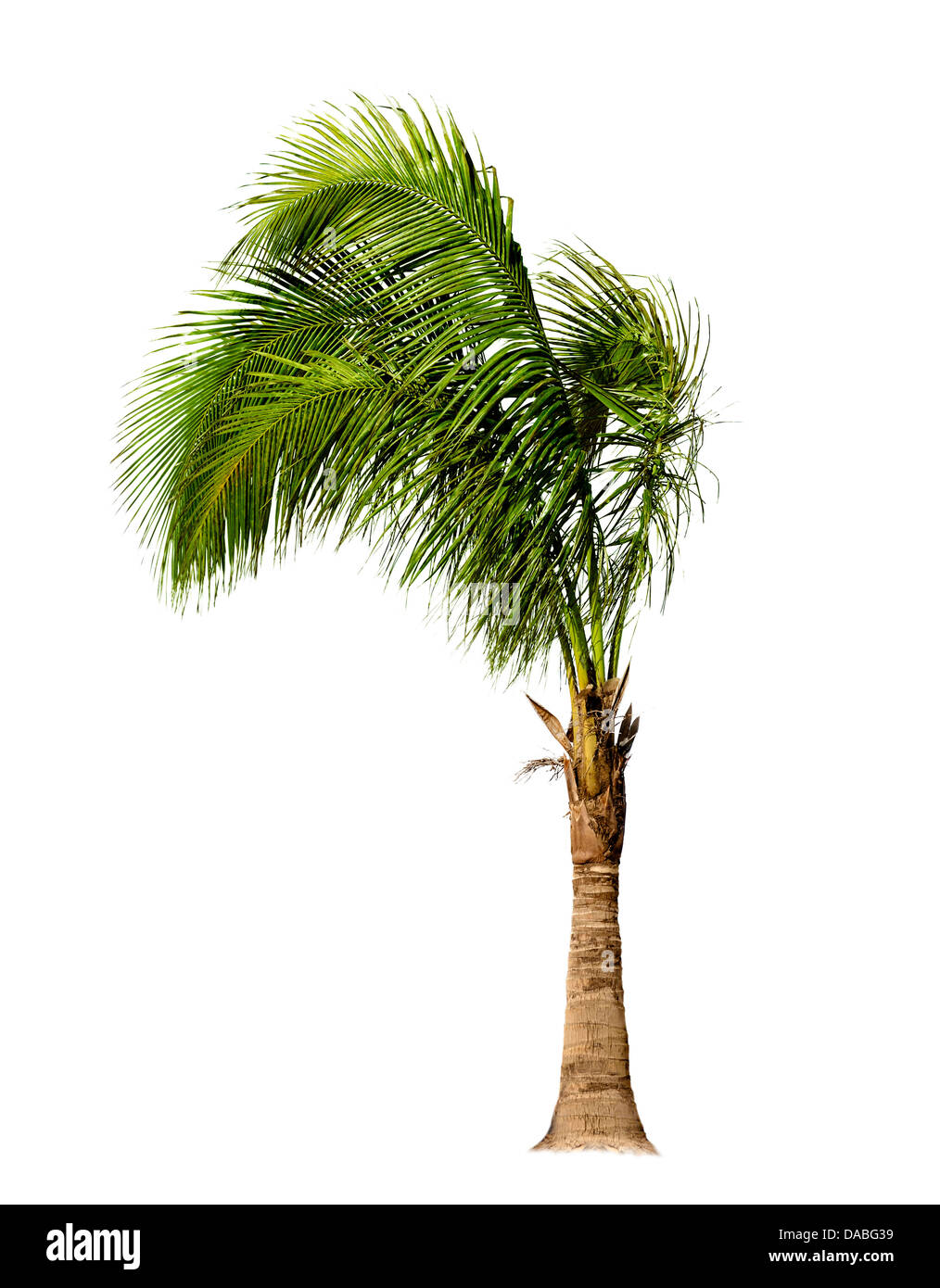 Palm Tree Isolated On White Background - Stock Image