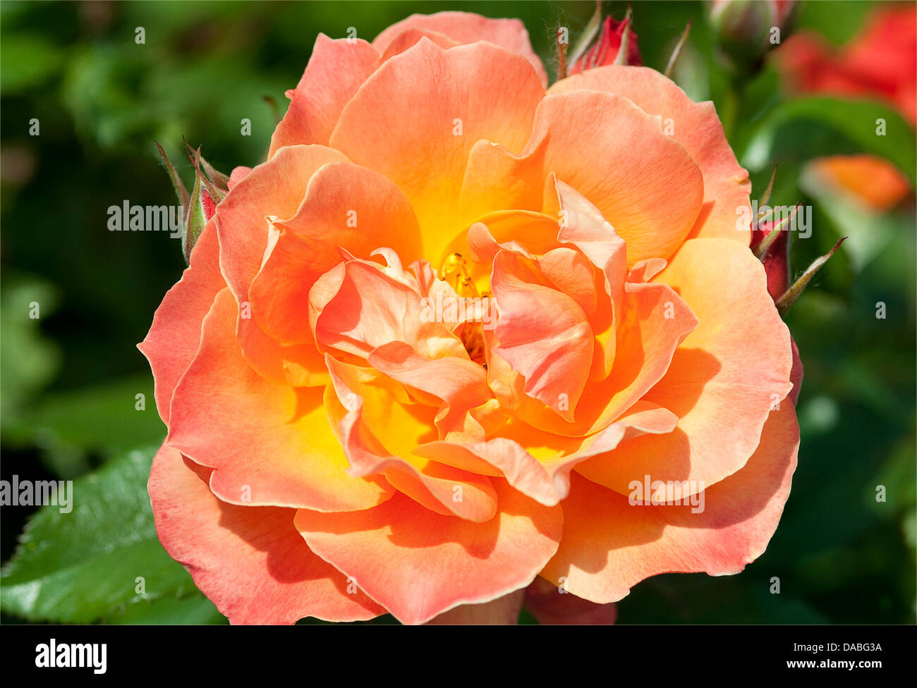Macro shot of a two tone rose - orange and yellow - Stock Image