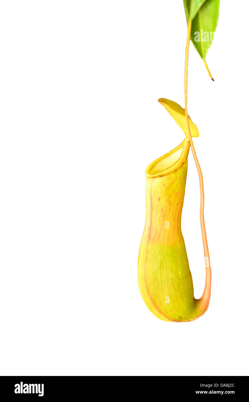 Pitcher plant - Stock Image