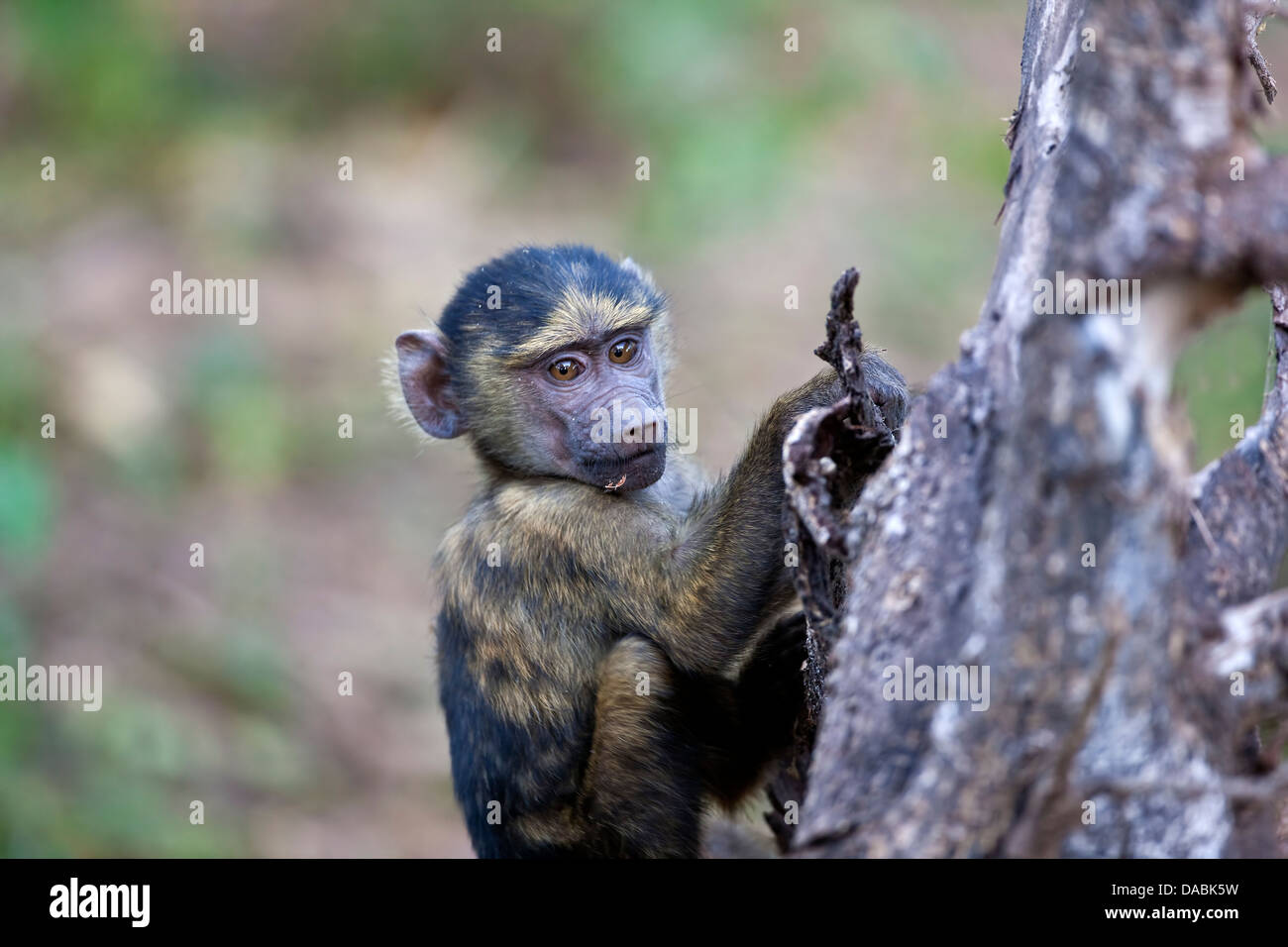 Young Olive Baboon Papio cynocephalus anubis clinging to the branch of a tree - Stock Image
