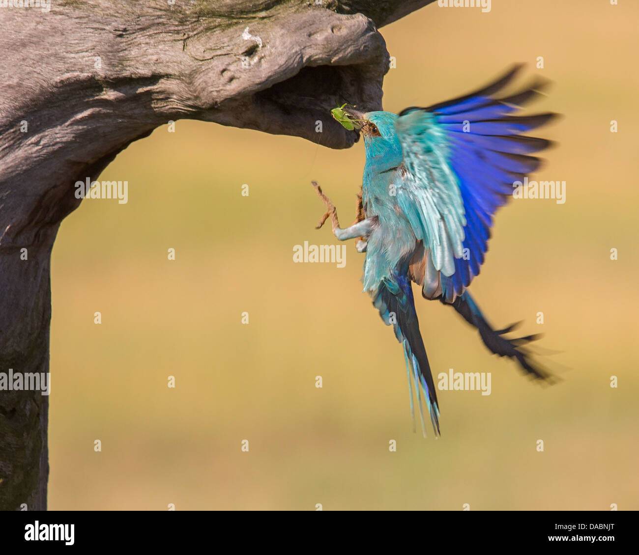 Wild European roller (Coracias garrulus) flying into its nest with food for chicks Stock Photo