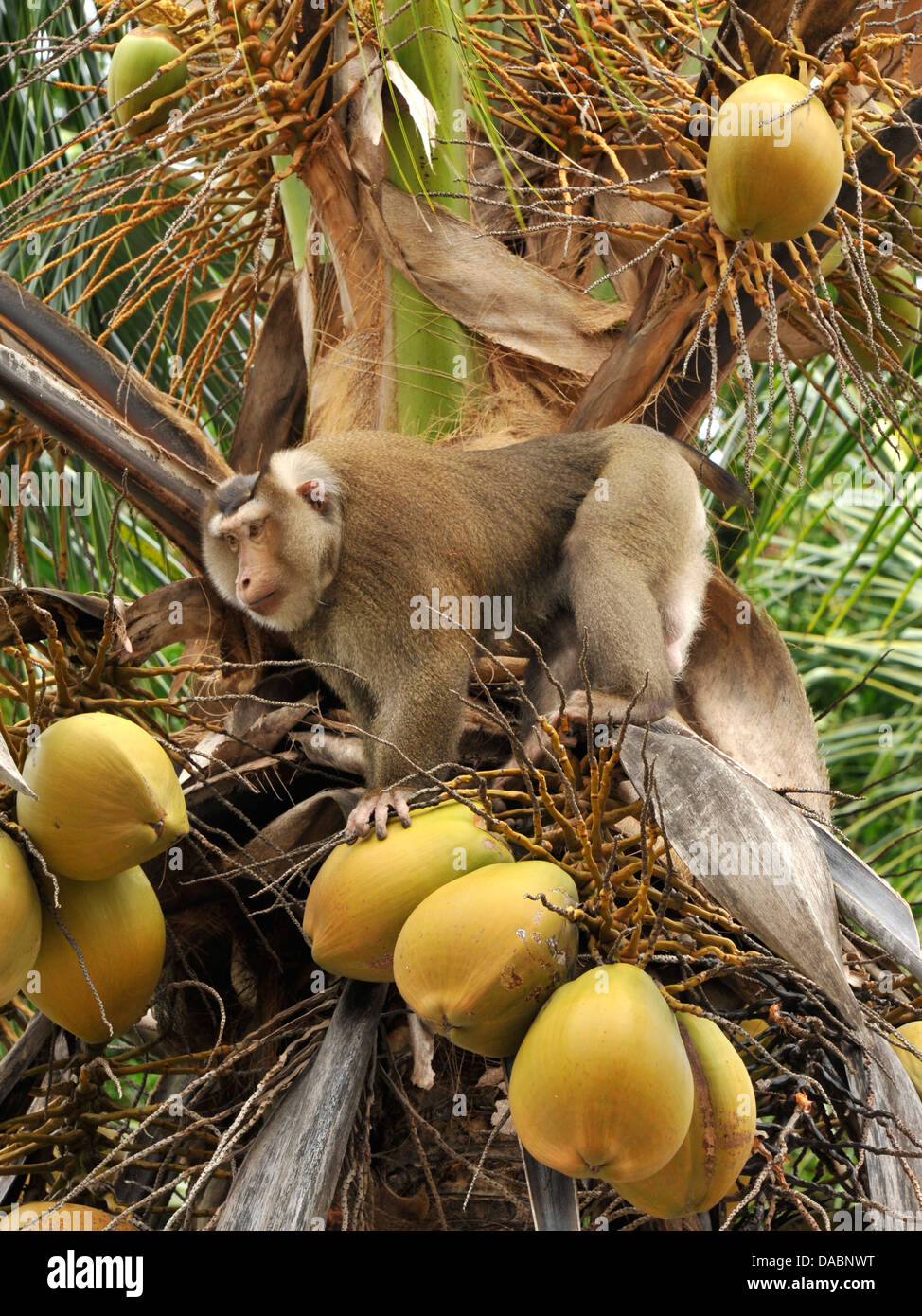 Macaque monkey trained to collect coconuts in Ko Samui, Thailand, Southeast Asia, Asia - Stock Image