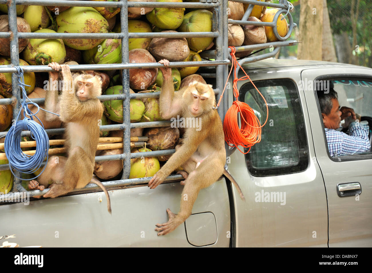 Macaque monkeys trained to collect coconuts in Ko Samui, Thailand, Southeast Asia, Asia - Stock Image