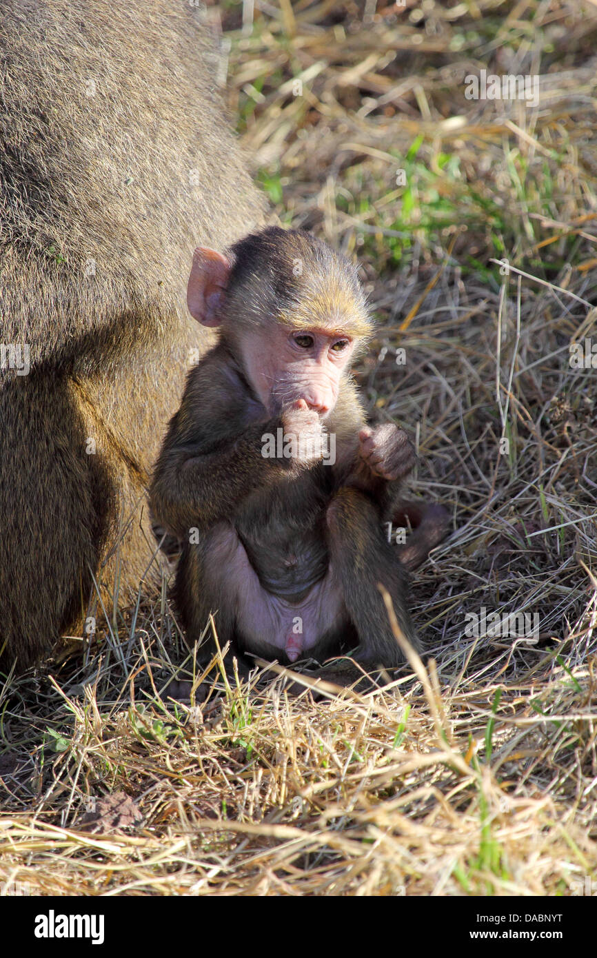 A baby olive baboon (Papio Anubis) sitting and eating in Serengeti National Park, Tanzania - Stock Image