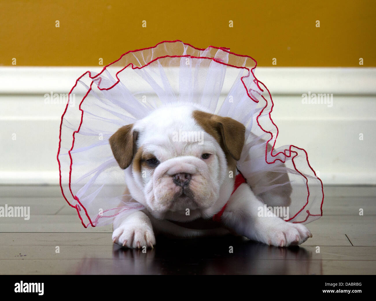 Puppy Fat Stock Photos Puppy Fat Stock Images Alamy