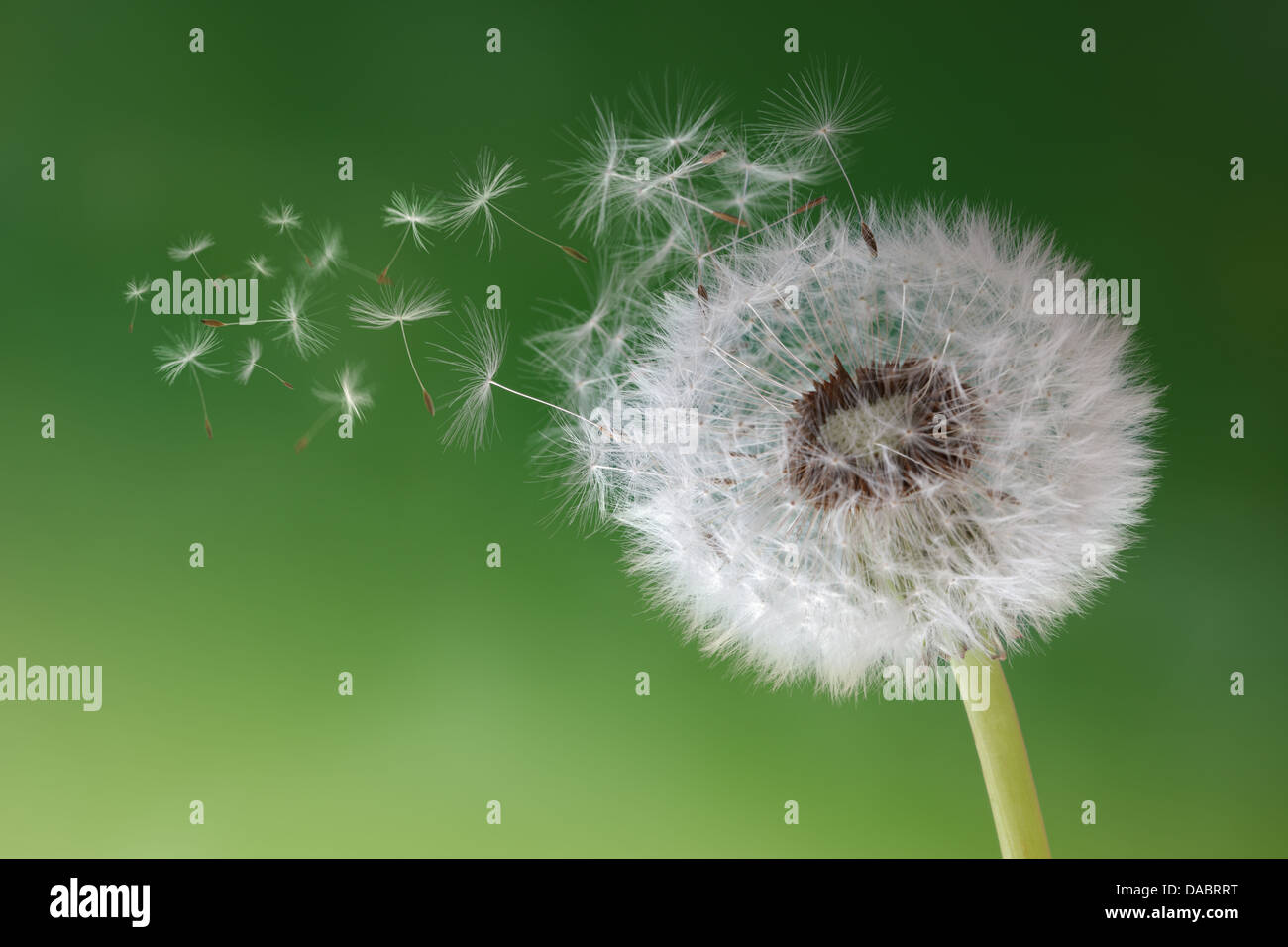 Dandelion clock in morning mist - Stock Image